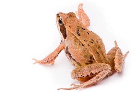 Rana arvalis. Moor frog on white background.  photo
