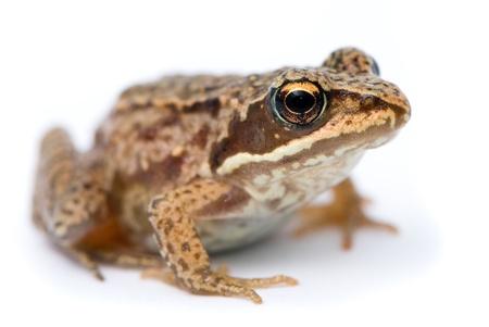 Rana temporaria. Small Grass frog on white background. photo