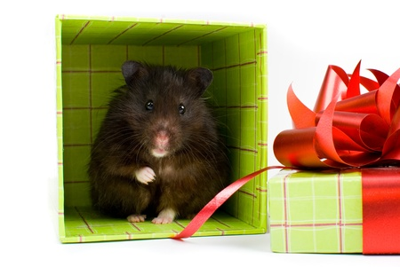 Black Syrian Hamster as a gift in box on white background photo