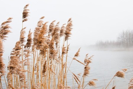 Misty Lake  Landscape with a cane photo