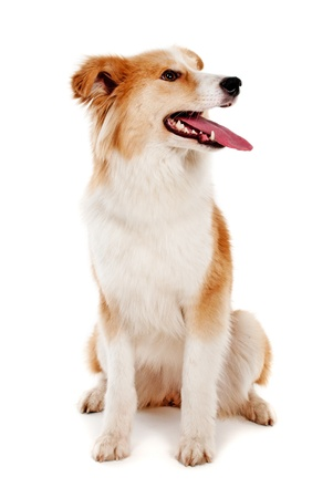 Red dog on white background photo