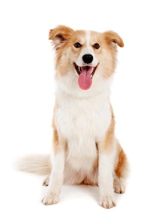 licking in isolated: Red Dog su sfondo bianco Archivio Fotografico