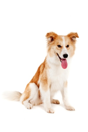 Red dog on white background Stock Photo - 13237781