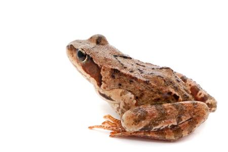 rana arvalis: Rana arvalis  Moor frog on white background  Stock Photo