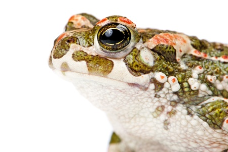 Bufo viridis. Green toad on white background. photo