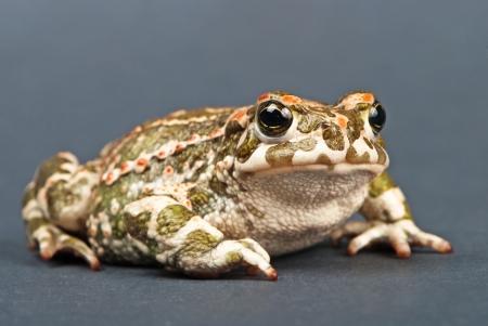 bufo bufo: Bufo viridis. Green toad on gray background. Studio shot. Stock Photo