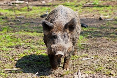 wildschwein: Europäische Wildschwein