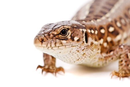lacerta: Lacerta agilis. Sand Lizard on white background