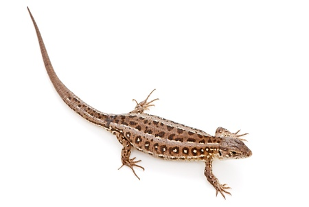 animal limb: Lacerta agilis. Sand Lizard on white background