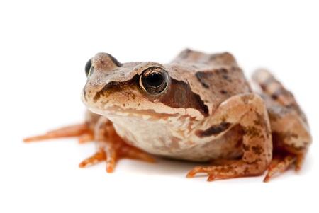 Rana arvalis. Moor frog on white background. Stock Photo
