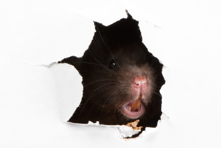Angry Black Syrian hamster looking through the ragged hole in the paper photo