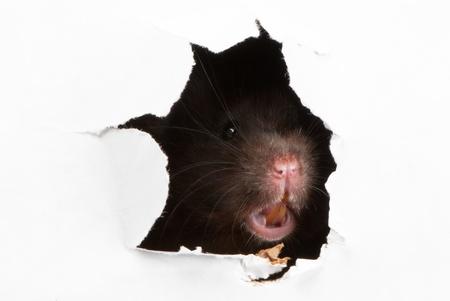 rata: Enojado hámster sirio Negro mirando a través del agujero irregular en el documento