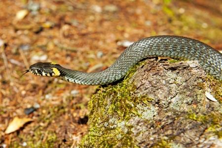 Grass snake in forest background  Natrix natrix  photo