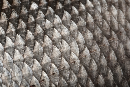 a freshwater fish: Fish scales background