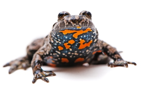 Bombina bombina. European Fire-bellied toad on white background. photo
