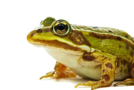 esculenta: Rana esculenta. Green (European or water) frog on white background.