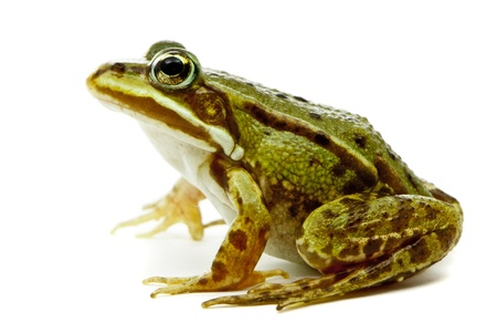 exotic frog: Rana esculenta  Green  European or water  frog on white background