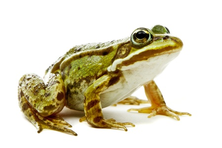 Rana esculenta  Green  European or water  frog on white background