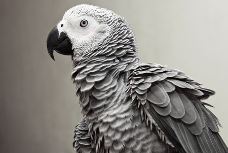 african grey parrot: African Gray Parrot Stock Photo