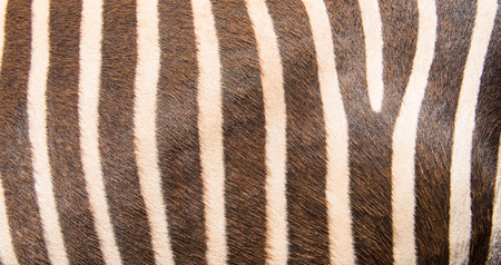 leather texture: Black and white zebra pattern for background. Stock Photo