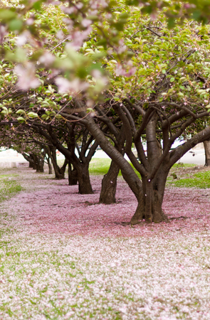 Cherry trees in blossom in an city park in America on a windy day. Stock Photo