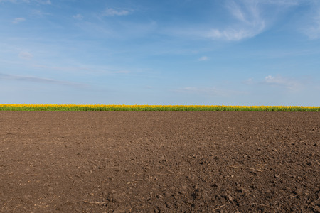Sunflower plantation with a blue sky background.