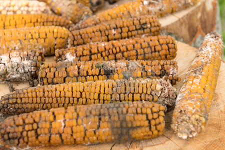 Moldy rotten corn cobs outside on wood logs. Stock Photo