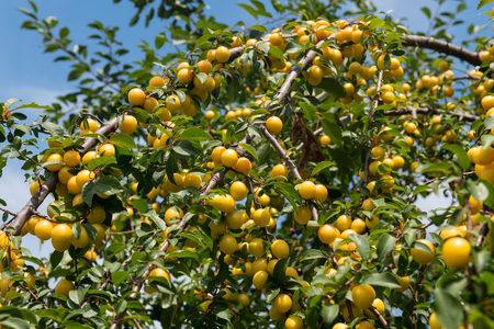 Rural scenery with mirabelle plums in a the tree ready to be harvested.