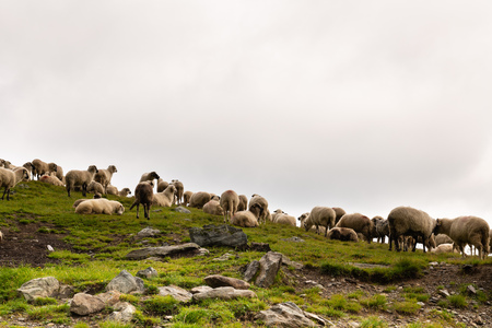 Flock of sheep grazing on green mountain slope in misty day, Carpathian Mountains, Romania.