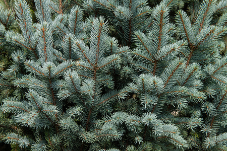 Background or texture of evergreen tree branches. Banco de Imagens
