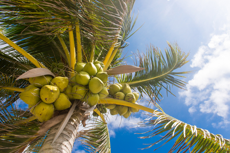 Fresh coconut on the tree, coconut cluster on coconut palm tree on blue sky. Stock Photo