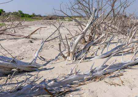 Coastal erosion due to rising sea levels leaves dead tree stumps and driftwood at Hunting Island State Park in South Carolina, United States. Imagens