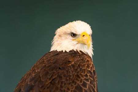 Portrait of a bald eagle, a brown bird of prey with white head, yellow bill, symbol of freedom of the United States of America.