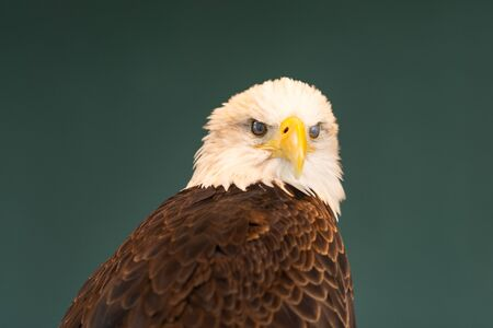Portrait of a bald eagle blinking, showing the inner eyelid. 写真素材