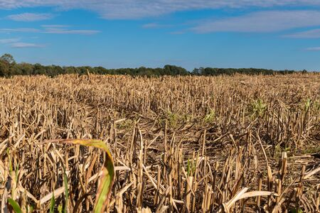 Millet or sorghum field after the harvest with visible plant reuse and fertile soil.