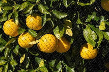 Grapefruits in tree protected with bird netting in a rural orchard.