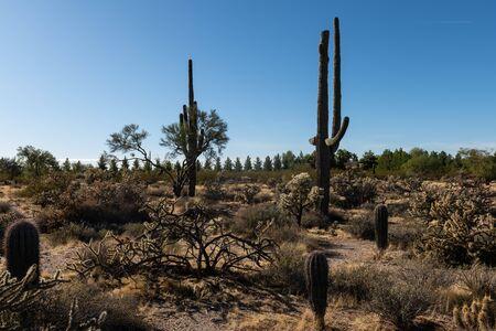 Various cactus and desert plants landscape scenery in Arizona Sonoran desert.