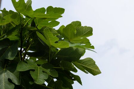 View of fig tree branch in the Summer. 스톡 콘텐츠