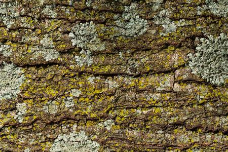 Detail of large tree bark texture background. 免版税图像