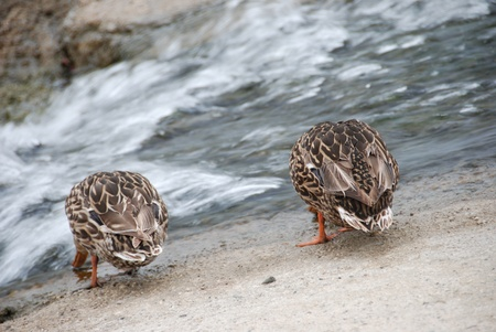 drakes: Birds (Brothers) in arms - Thirsty ducks Stock Photo