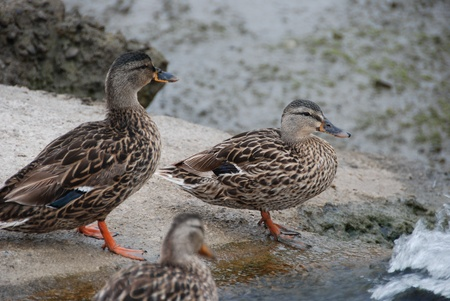 drakes: Ducks ready for a dive for a swim Stock Photo