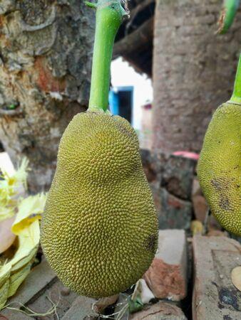 Jack fruit Indian Stock Photos .this photo is taken by vishal singh