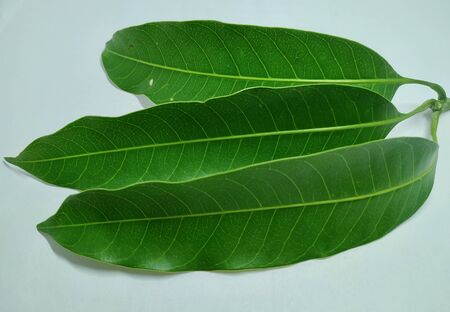 Mango Leaves Stock Photos .this photo is taken in india by vishal singh