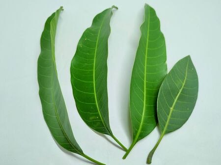 Mango Leaves Stock Photos .this photo is taken in india by vishal singh Stockfoto