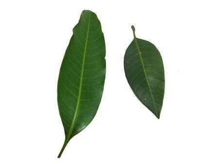 Mango Leaf Stock Photos. This photo is taken i india by vishal singh