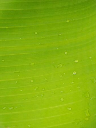 Banana Leaf and great green background stock photos. This photo is taken in india.