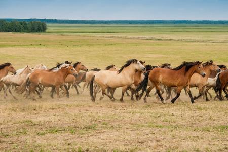 Running herd of horses on the field