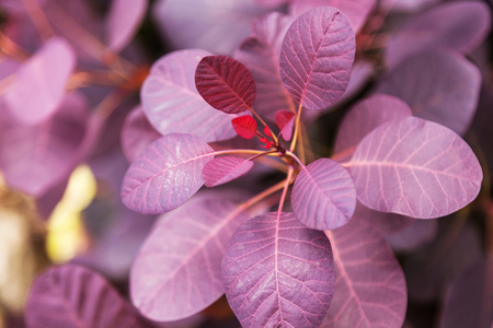 Violet leaves of a bush close-up plant