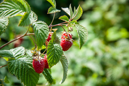 Raspberry bush with red ripe berries on a summer day Stock Photo