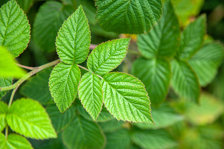 Green leaves of a raspberry bush on a summer day Stock Photo
